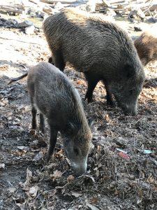 Tierpark Sommerhausen - Wildschweine
