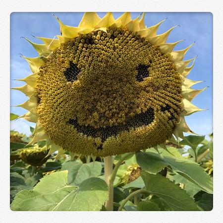 Sonnenblumen Gesicht